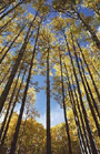 ラミネートフローリング クロノテックス Kronotexの森林認証